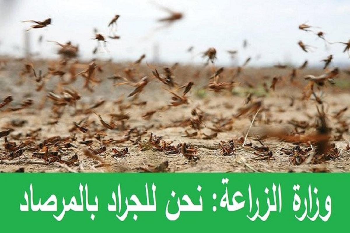 وزارة الزراعة: نحن للجراد بالمرصاد
