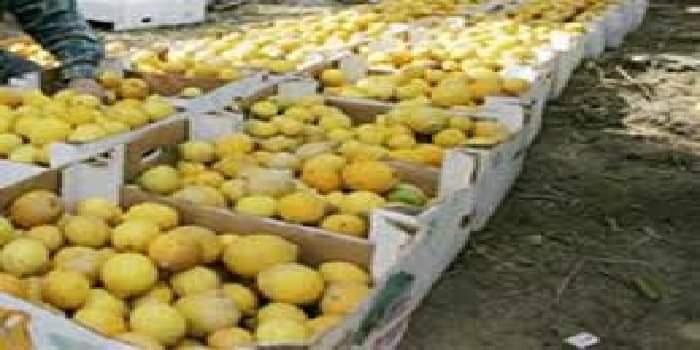 ١٤١ ألف طن إنتاجنا المحلي من الليمون.. فأين ذهب ليموننا من الأسواق؟
