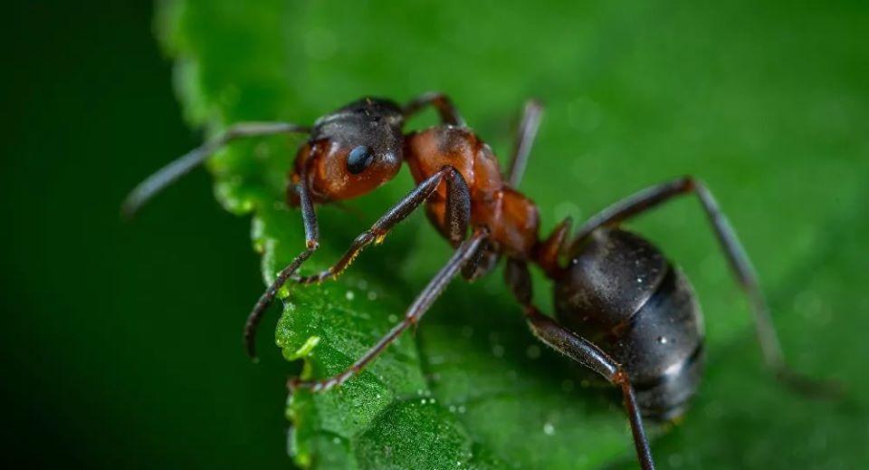 """العلماء يدرسون إمكانية التخلص من """"كورونا"""" بمساعدةالنمل"""