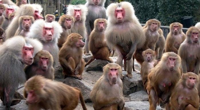 تعديل دستوري سويسري يمنح القردة حقوق كالبشر
